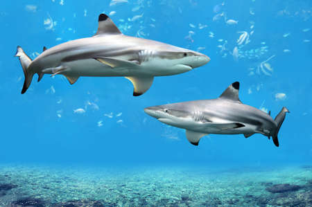 Photo for Blacktip Reef sharks swimming in tropical waters over coral reef - Royalty Free Image
