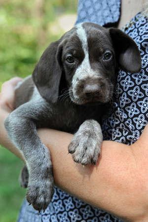 Portrait of German Shorthaired Pointer puppy being held