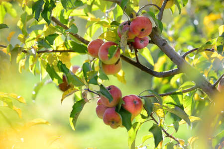 Red apples ready for harvest during early fall