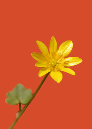 The isolated blossom of the lesser celandine