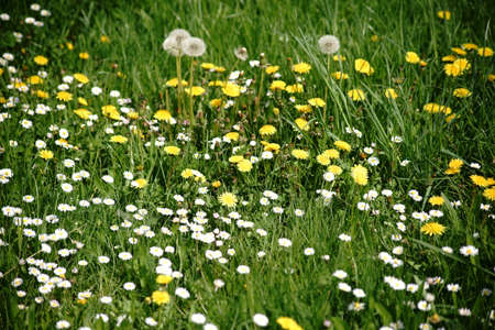 A wild meadow with different flowers, like dandelions and daisies.