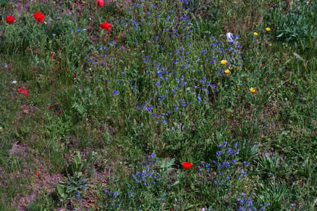 A wild meadow with various flowers, such as common poppy and gold poppy.