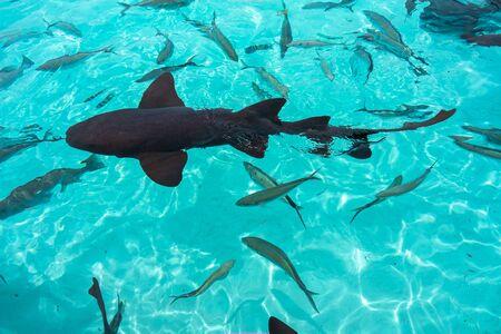 Photo pour Nurse sharks in Compass Cay (Great Exuma, Bahamas). - image libre de droit