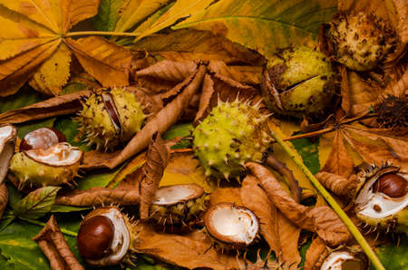 conker and leaves as backround at autumn