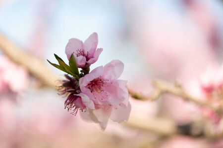 Foto für Fruit tree flowers in the spring - Lizenzfreies Bild
