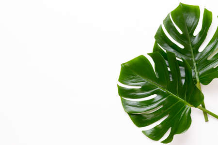 Photo pour Monstera leaf on white wooden background. Palm leaf, Real tropical jungle foliage Swiss cheese plant. Flat lay and top view. - image libre de droit