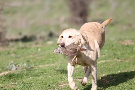 Yellow labrador dog competing in field trial competition