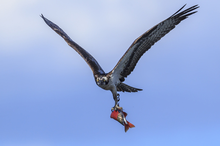 Osprey in sky with kokanee salmon. An osprey flies up in the sky with his catch above Hayden Lake in north Idaho.