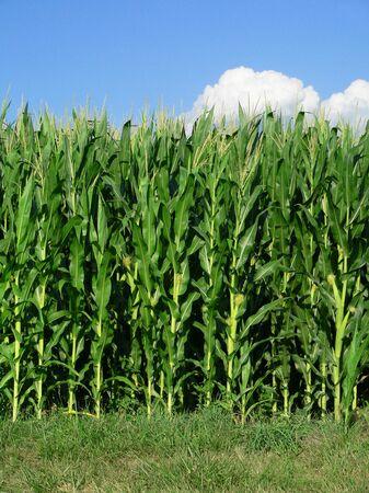 Corn Stalks at edge of Field