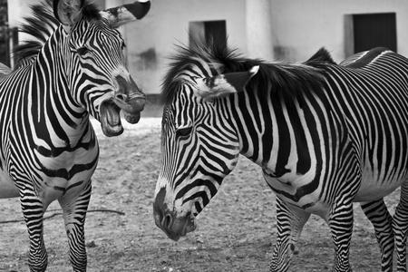 Funny Zebras