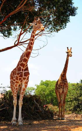 Two Reticulated Giraffes Girafa Camelopardalis Reticulata Near The Tree.