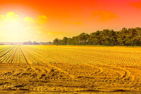 Photo for Rows of fresh young seedling on the background of sky at sunrise. Breathtaking agriculture landscape and nature of Portugal - Royalty Free Image