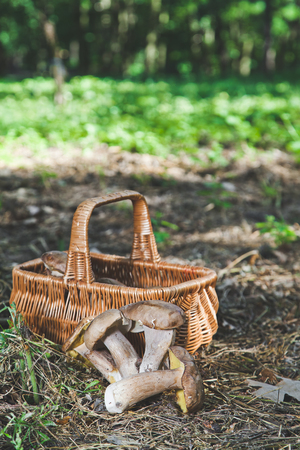 Beautiful forest white mushrooms freshly picked and lie next to the wicker basket on the ground in a sunny warm forestの写真素材