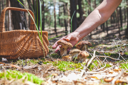 Female hand holds big beautiful white mushroom in a forest glade. Nearby stands a wicker basketの写真素材