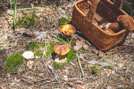 Forest still life. Several big white mushrooms boletus growing in a forest glade. Nearby stands a wicker basket with mushroomsの写真素材