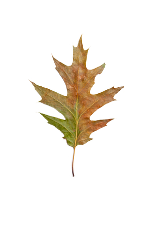 Element herbarium. Green oak leaf lies on a white background close-up