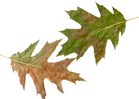 Element herbarium. Two green oak leaves are lying on a white background close-up