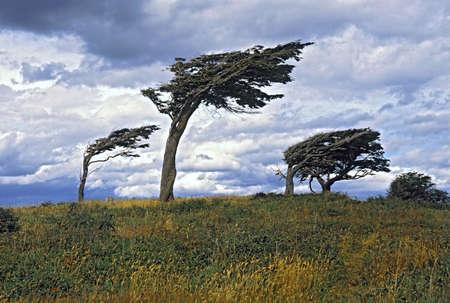 Flag Trees, Argentina, Tierra Del Fuego