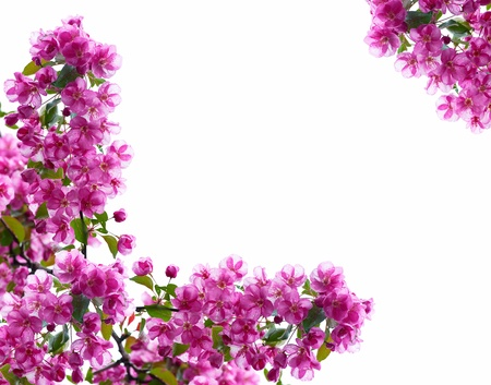 Photo pour Decorative framework from branches of a blossoming apple-tree, white background - image libre de droit