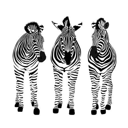 Illustration pour Three zebras standing. Savannah animal ornament. Wild animal texture. Striped black and white. Vector illustration isolated on white background. - image libre de droit