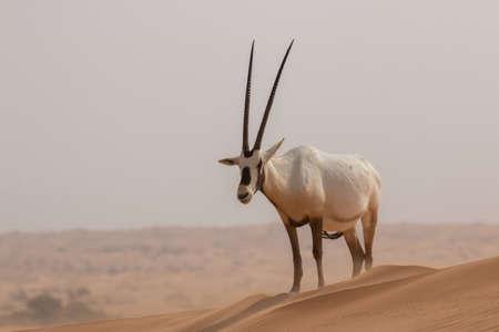 Photo pour Arabian Oryx - Antelope in Dubai Desert - image libre de droit