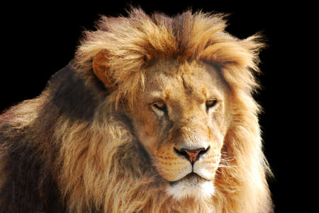 Photo for lion head - Royalty Free Image