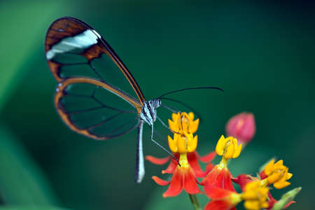 The Glasswinged butterfly (Greta oto) with Transparent Wings.
