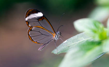Glasswing Butterfly, Greta Oto on a green leaf