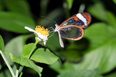 Glasswing Butterfly, Greta Oto on a flower
