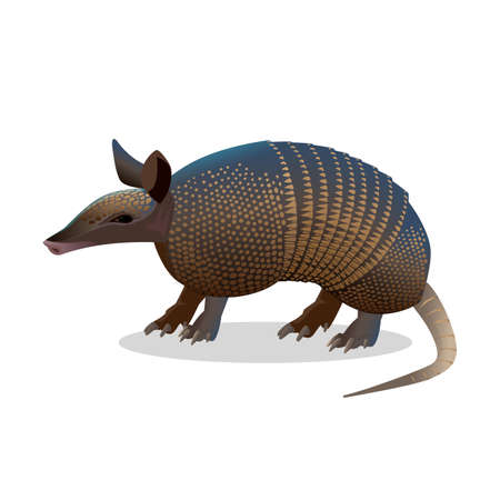 Illustration pour Armadillo isolated on white. Realistic placental mammal with leathery armour shell. Anteater and sloth icon. Little armoured one turtle rabbit. Used in the study of leprosy. Vector illustration - image libre de droit