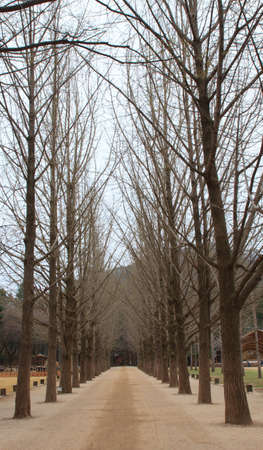 Two roll of pine tree in nami island