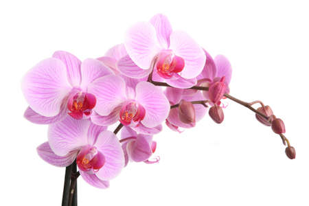 Pink orchid isolated on white background の写真素材