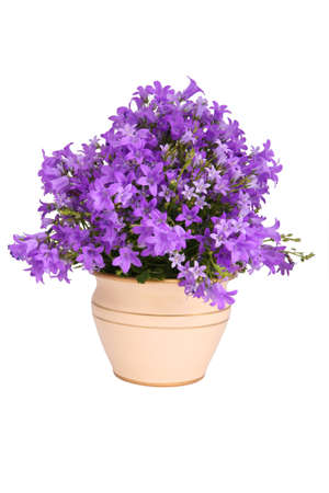 Campanula bell flowers, isolated on white