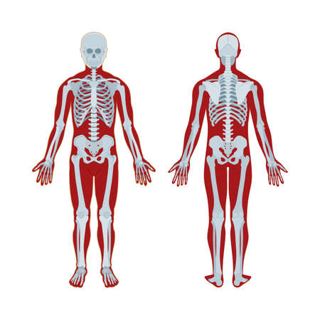 Illustration pour Skeleton. Human skeleton realistic vector illustration. Human skeleton front and back view. Bony system. Part of set. - image libre de droit