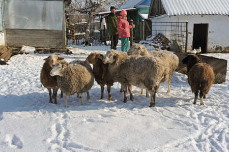 Krasnodar, Russia - January 19, 2015: A small flock of sheep in the household of a rural family. Sunny winter day serene village street