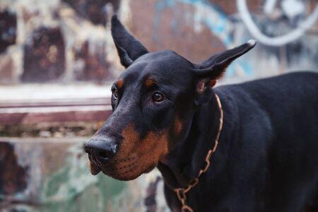 Photo pour beauty black scary dog dobermann head portrait in the city - image libre de droit