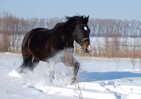 A powerful beautiful darkly-bay stallion  bruises along on deep snow