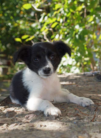 Puppy blackly white colouring in expectant of owner