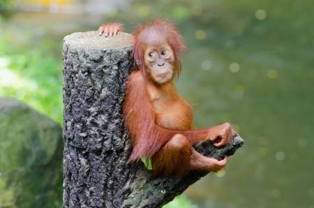 Orangutan Pongo baby sits on the tree