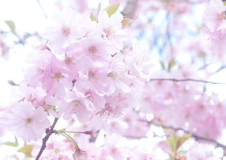 Spring Cherry blossoms, pink flowers - natural background