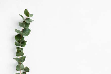 Photo pour green eucalyptus twig on white background. minimalistic natural decor. free space concept. - image libre de droit
