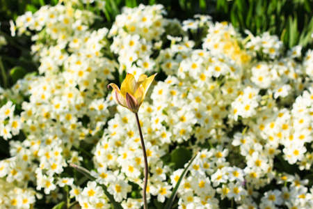 Photo pour White and yellow blooming spring flowers on meadow. Natural background. Selective focus. - image libre de droit