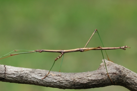 Northern Walking Stick  Diapheromera femorata  Concealed on a Tree Branch - Ontario, Canada