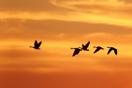 Foto de Canada Goose  Branta canadensis  Leading Rest of Flock on Migration South Against a Sunset - Grand Bend, Ontario, Canada - Imagen libre de derechos