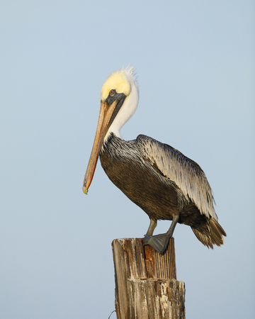 Foto de Brown Pelican (Pelecanus occidentalis) perched on a dock piling - Estero Island, Florida - Imagen libre de derechos