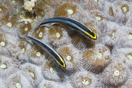 Photo pour Pair of Sharknose Gobies (Elacatinus evelynae) on a coral head - Bonaire, Netherlands Antilles - image libre de droit
