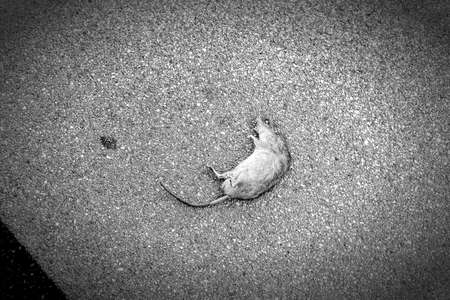 dead rat corpse, invested by the tires of a car in a parking lot