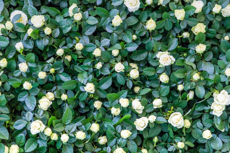 background of white roses and green leaves