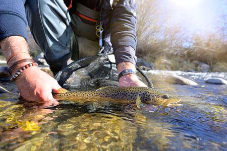 Photo pour Taking a beautiful brown trout with a fly - image libre de droit