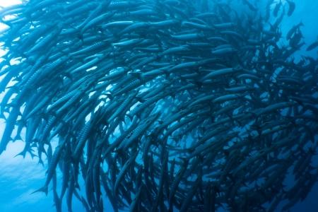 Photo pour School of barracudas underwater. Sipadan. Celebes sea - image libre de droit